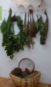 Zbiór ziół w Muzeum Borów Tucholskich